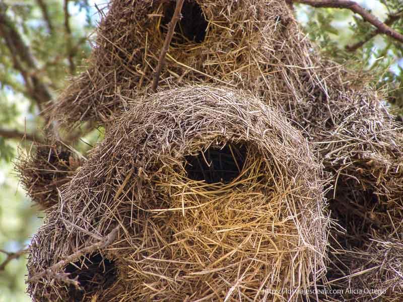 nidos en acacias el sod