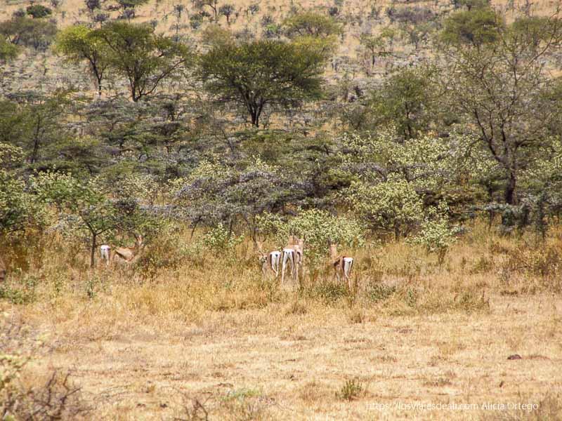 grupo de gacelas entre la vegetación con acacias al fondo el sod