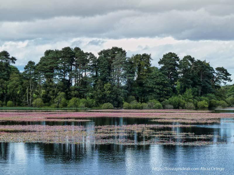 lago con fila de árboles al fondo y flores rosas en el agua glendalough