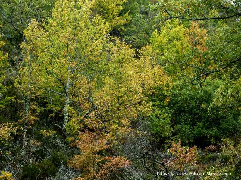 árboles con hojas amarillas en el hayedo de tejera negra