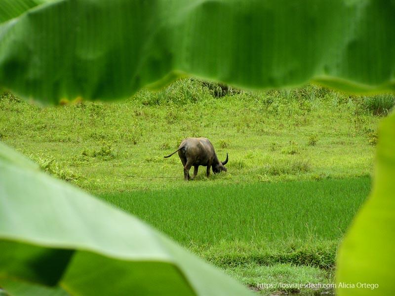 búfalo pastando junto a un arrozal la bahía de ha long colores del mundo