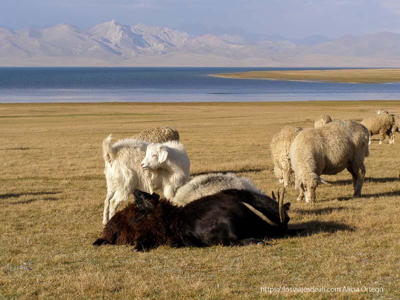 ovejas marco polo junto al lago song kol