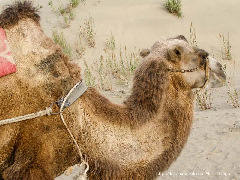 camello bactriano en el desierto oasis de yarkand
