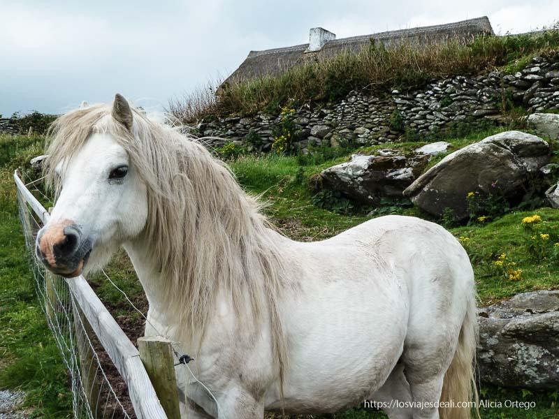 pony blanco en península de dingle