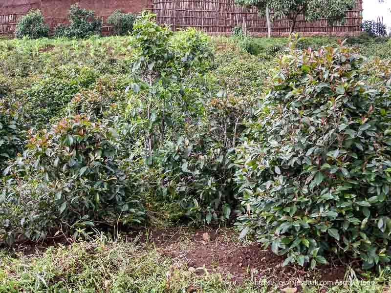 plantación de catha edulis junto al lago tana sesión de chat