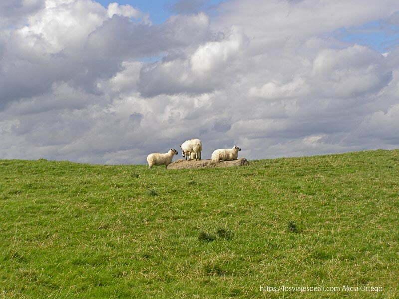 ovejas sobre resto arqueológico cerca de trim