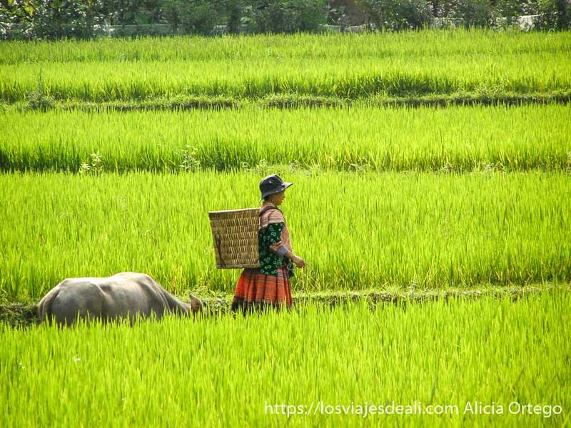 mujer con cesta a la espalda y una vaca detrás en medio de un campo de arroz en el norte de vietnam