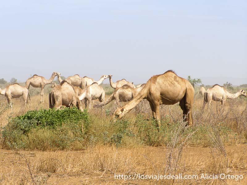 rebaño de camellos de la tribu dasanech