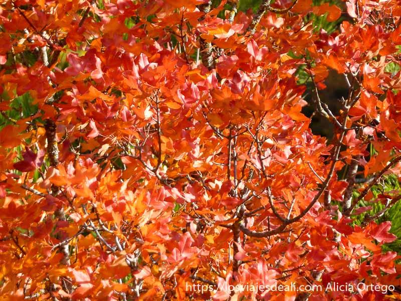 árbol con hojas rojas de otoño en navarra