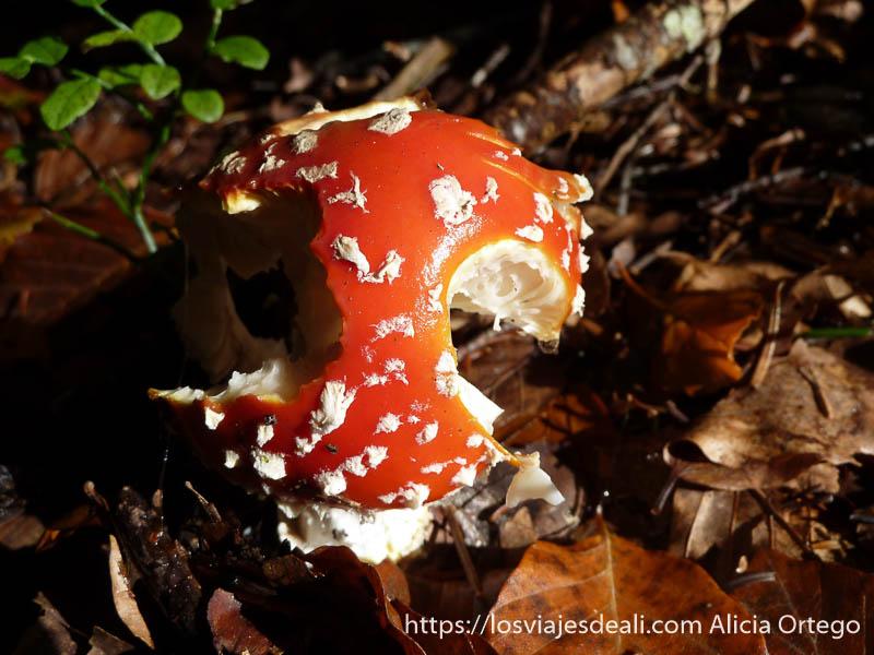 amanita muscarea de color rojo con pintas blancas en selva de irati