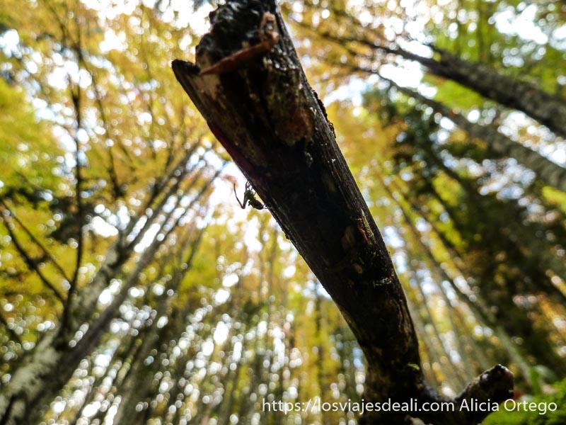 vista desde abajo de rama con araña andando por su perfil en selva de irati