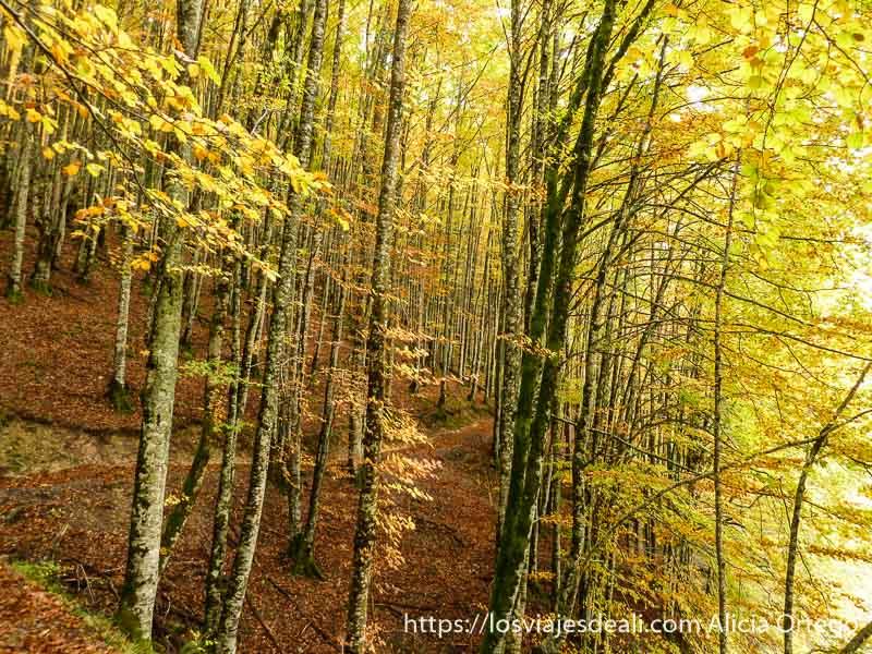 bosque de hayas con color amarillo y naranja en selva de irati