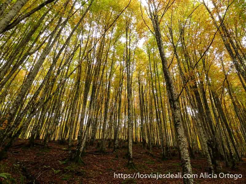 troncos de hayas muy rectos y altos en selva de irati