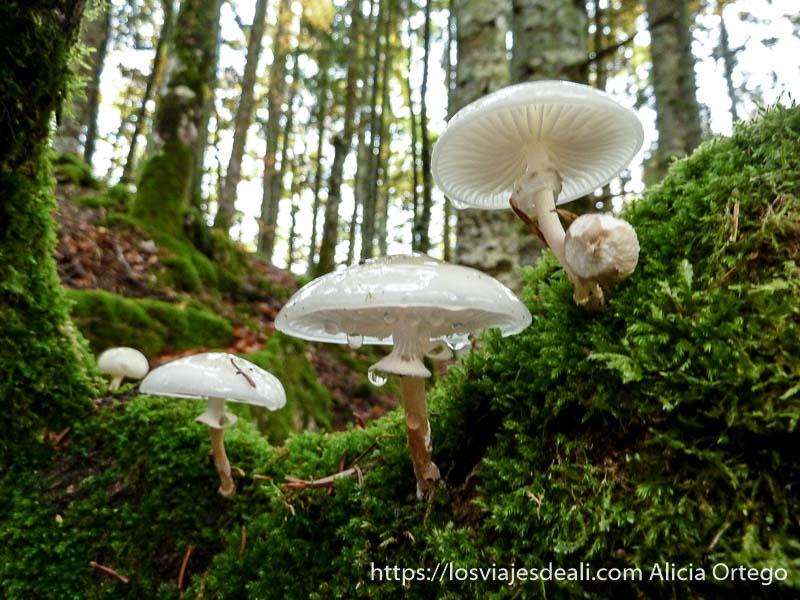 hongos de color blanco con gotitas cayendo entre musgo selva de irati