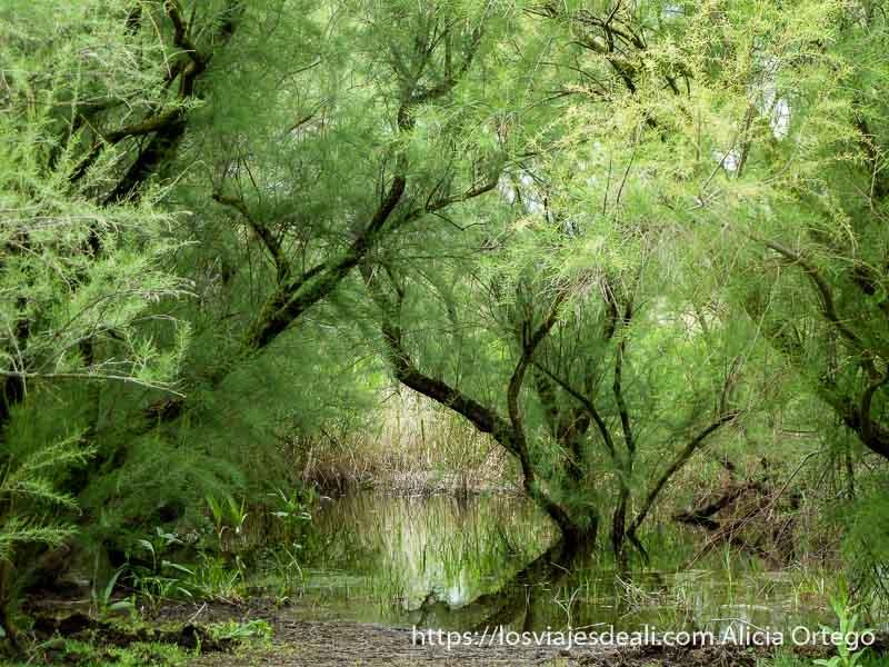 árboles tablas de daimiel