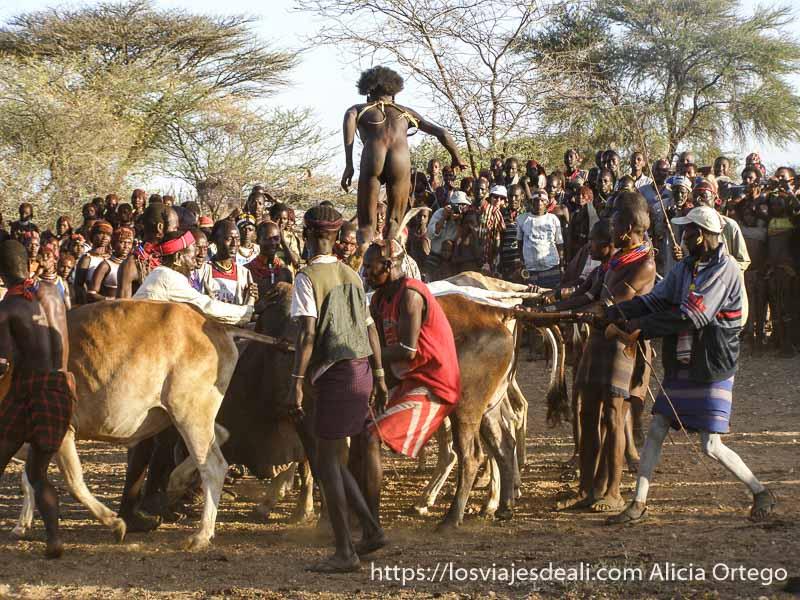 hamer saltando sobre fila de vacas que sujetan los demás tribu hamer