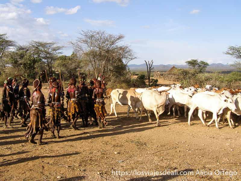 mujeres hamer bailando junto a las vacas tribu hamer
