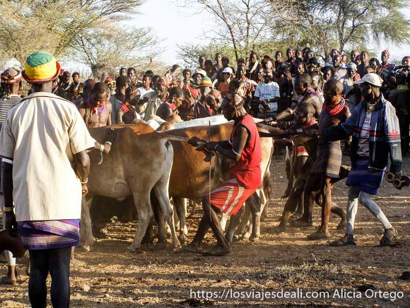 hamer colocando las vacas para el salto tribu hamer