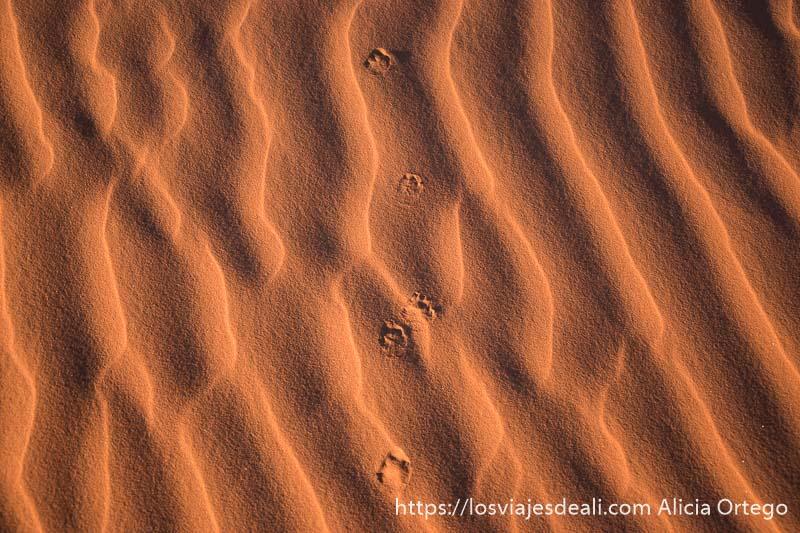 huellas de zorro o chacal en la arena paisajes del sahara