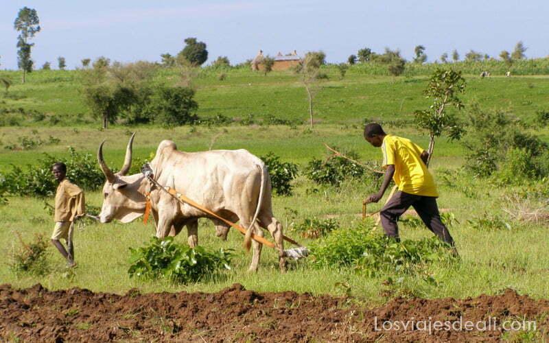 hombre labrando la tierra con un arado y buey con grandes cuernos en forma de arpa, en Camerún