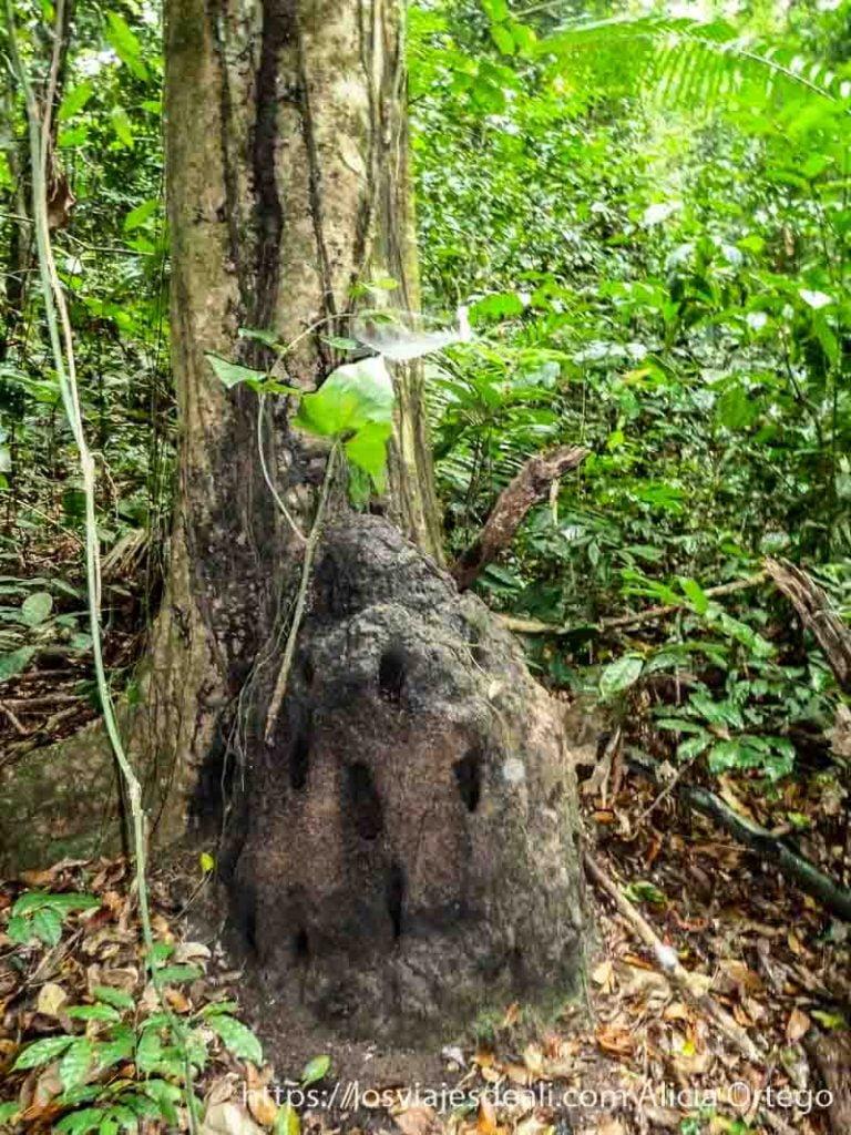 hormiguero grande pegado a un árbol en la selva de camerún