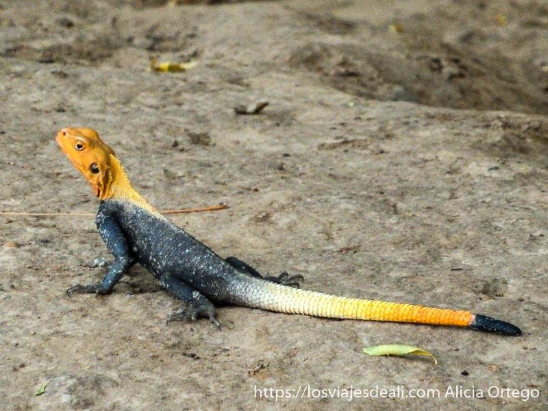 lagarto con cabeza y cola naranjas y cuerpo gris en el extremo norte de camerún