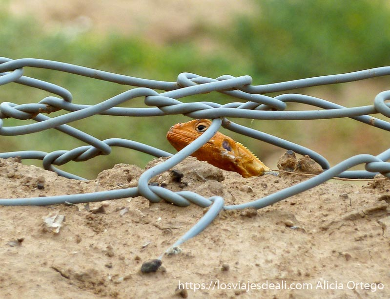 lagarto con cabeza naranja asomando detrás de una alambrada
