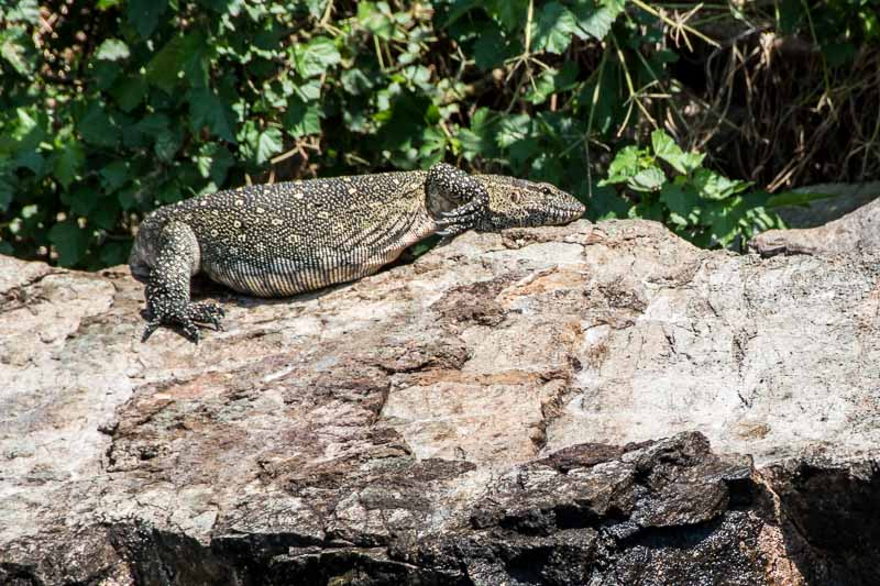 lagarto grande sobre una roca tomando el sol lago victoria