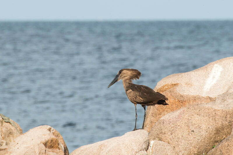 pájaro martillo sobre una roca al sol lago victoria