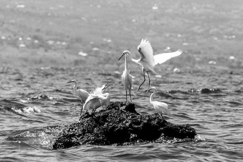 5 ibis blancos sobre una roca rodeados de agua lago victoria