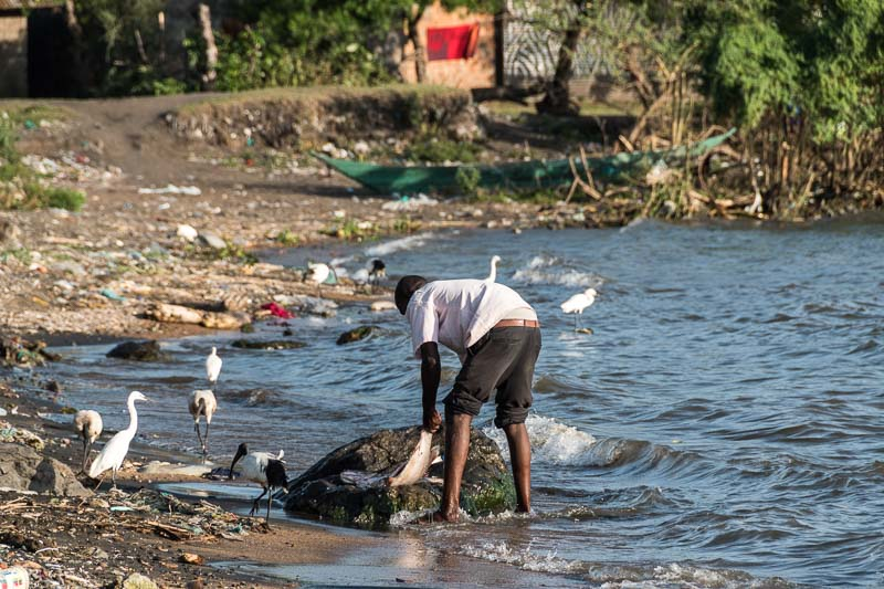 pescador limpiando un pescado rodeado de cormoranes e ibis en lago victoria