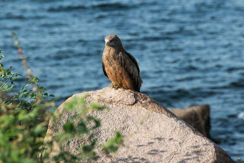 águila sobre una roca en lago victoria