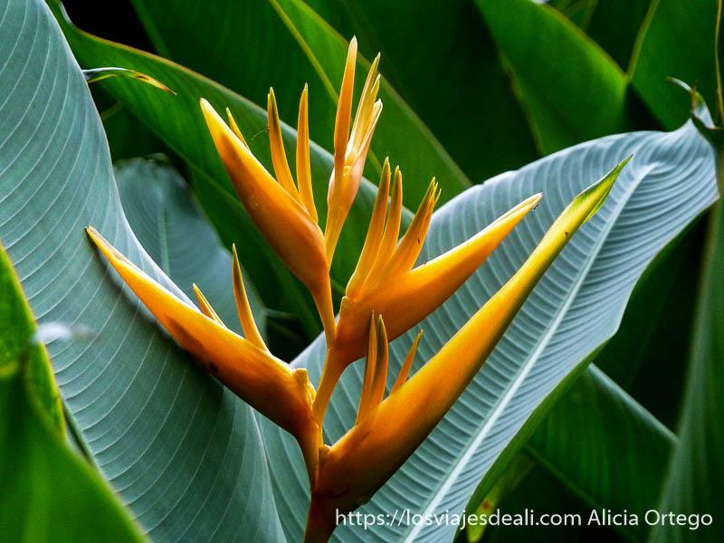 flor del paraíso de color naranja en limbe