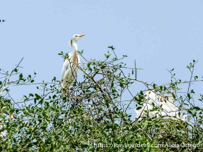 ave blanca sobre árbol en extremo norte de camerún