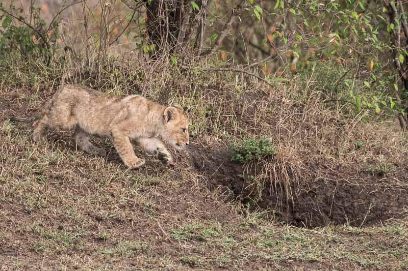 cachorro de león a punto de entrar en madriguera en el suelo masai mara