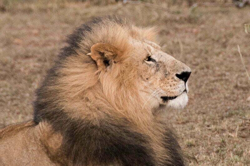 león de gran melena en masai mara