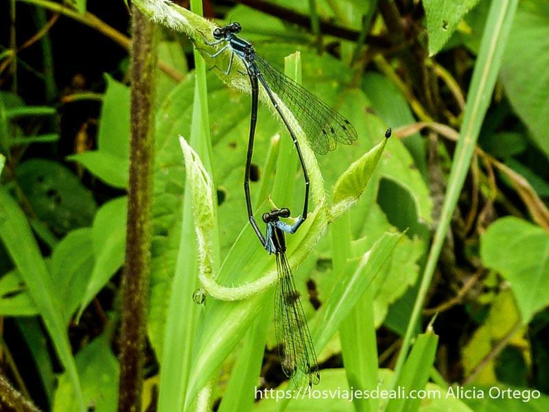 dos libélulas negras y azules copulando ngaoundere