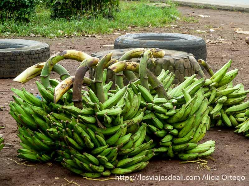 plátanos en su rama país bamileké
