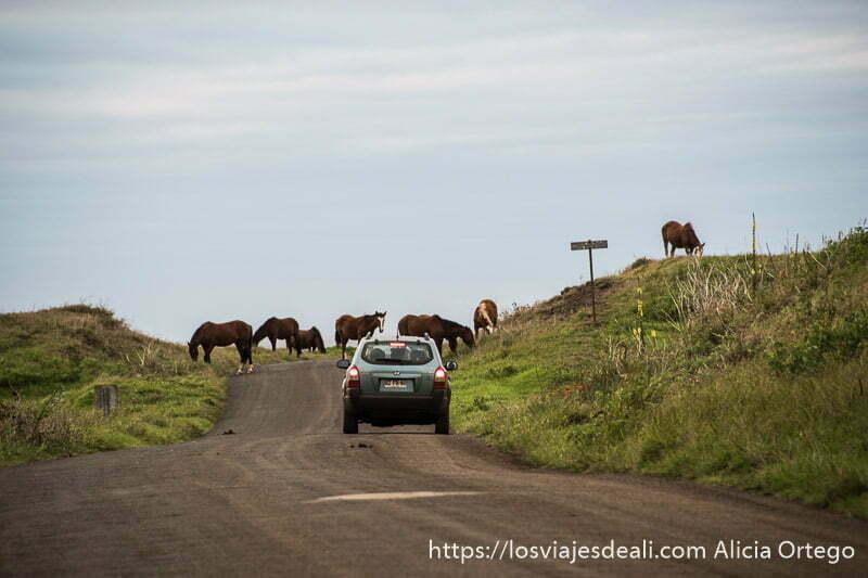 caballos cruzando la carretera y coche frenando tours en isla de pascua