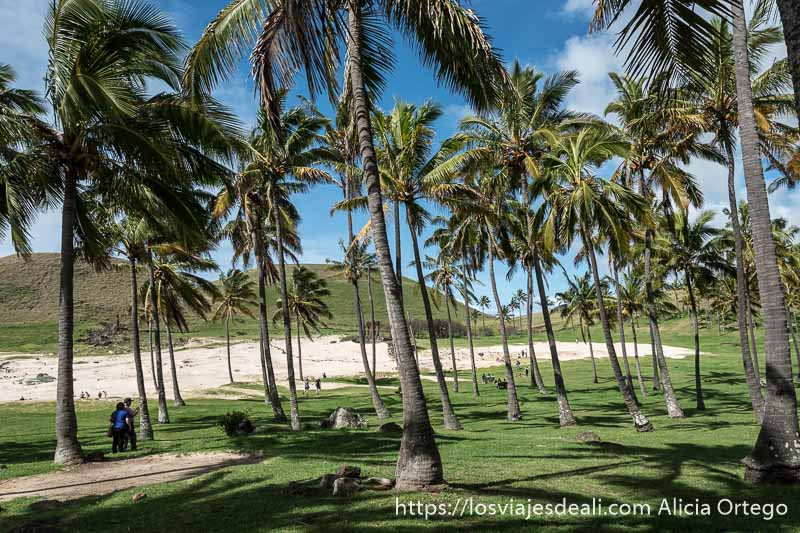 palmeras y hierba en la playa de anakena con arena blanca al fondo tours en isla de pascua