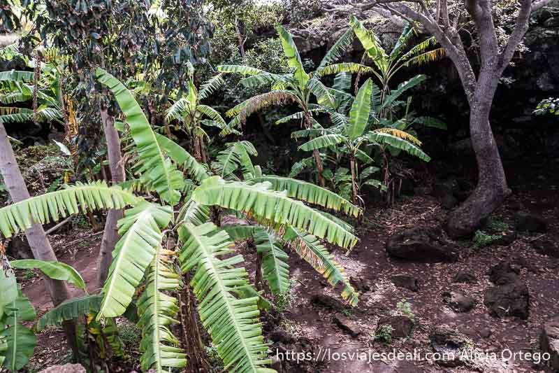 plátanos en la cueva tours en isla de pascua