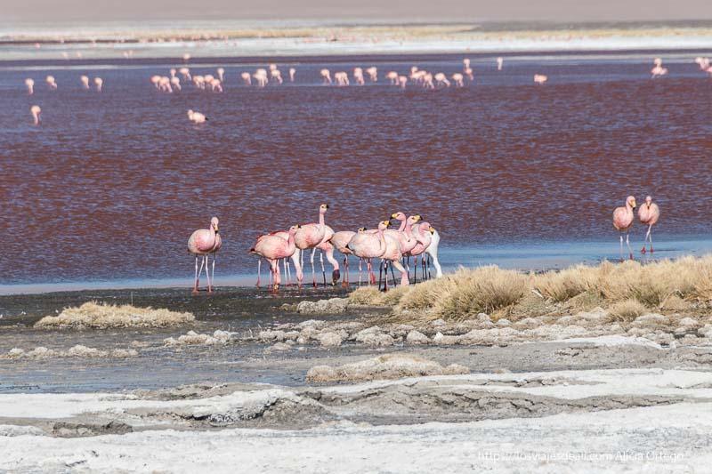 flamencos agrupados en la laguna colorada bolivia