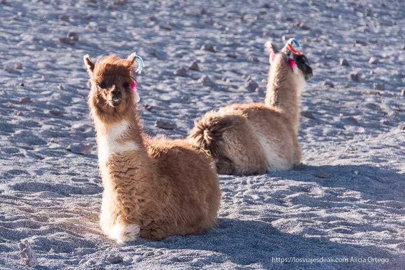 dos llamas sentadas en la arena con el viento despeinando su flequillo bolivia