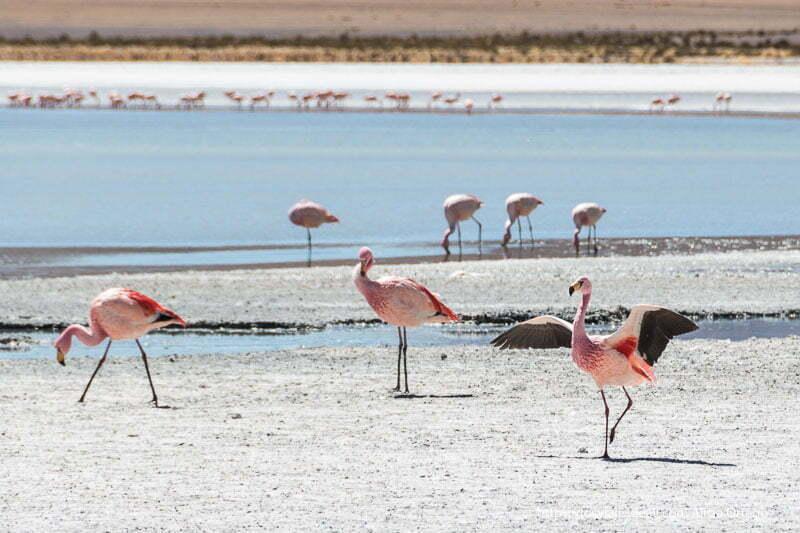 un flamenco desplegando las alas para volar y detrás la laguna hedionda bolivia