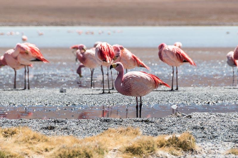 flamencos de cerca con color rosa intenso en bolivia