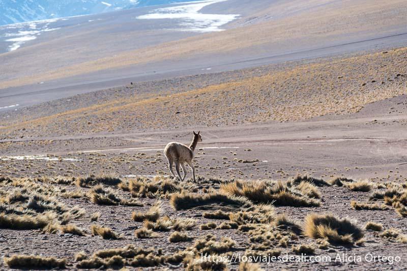vicuña corriendo por campo desértico de atacama