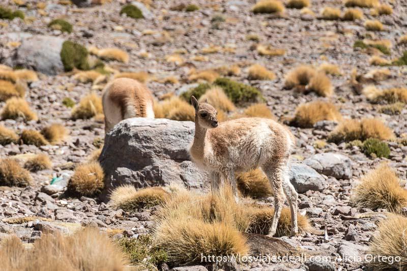 vicuñas entre rocas y arbustos de ichu en bolivia