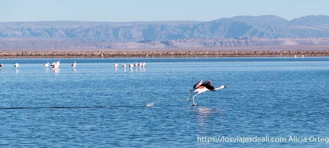 flamenco iniciando vuelo sobre el agua en laguna chaxa en salar de atacaama
