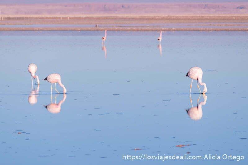tres flamencos comiendo en el agua con luz rosada salar de atacama