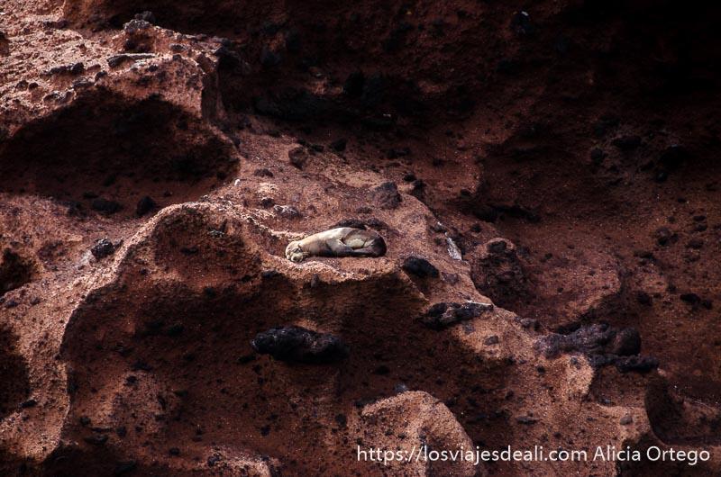 dos lobos marinos tomando el sol en rocas volcánicas de color rojizo